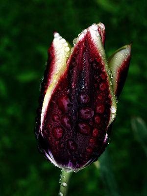 Rembrandt-Tulpe im Regen