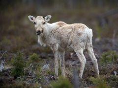 Ren deer