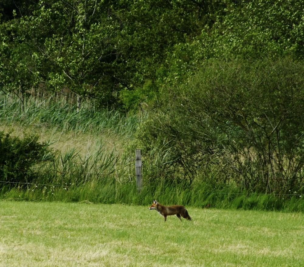 renard en quete de proie