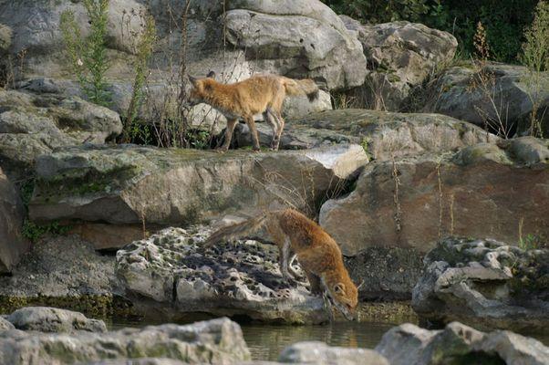 Renards en maraude dans un parc départemental
