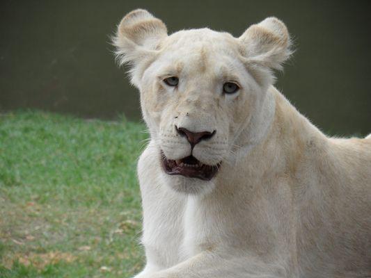 Rencontre avec les lions blancs