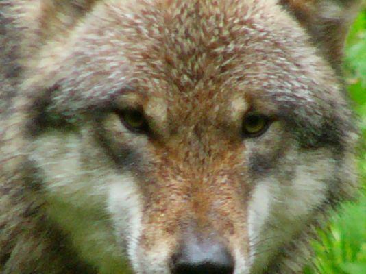 Rendezvous mit einem Wolf