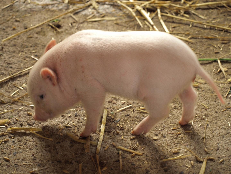 Rennschwein