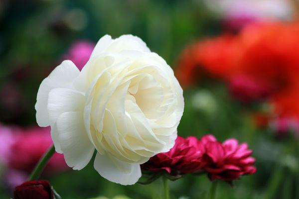 renoncule blanche