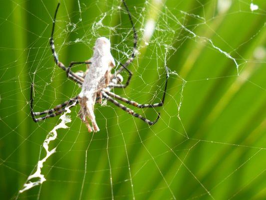 Repas d'arachnide