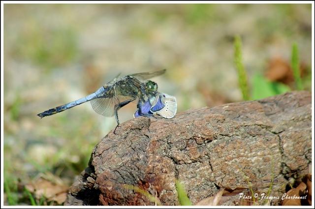 Repas de libellule