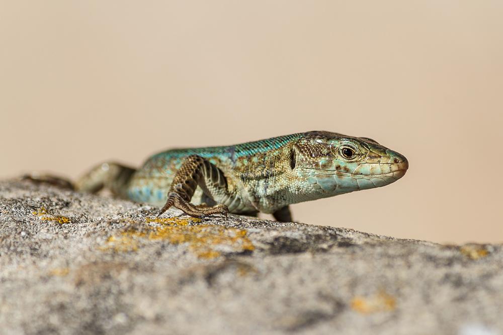 Reptil mit Migrationshintergrund