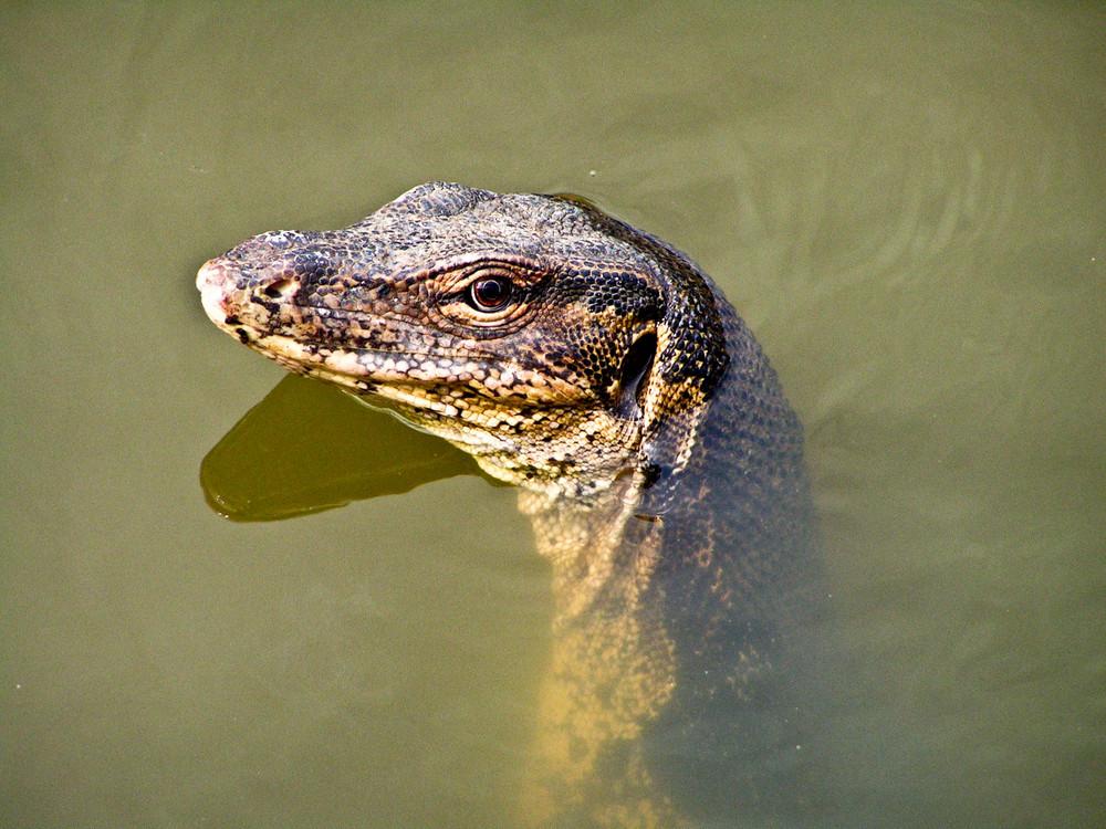 reptile de malaisie