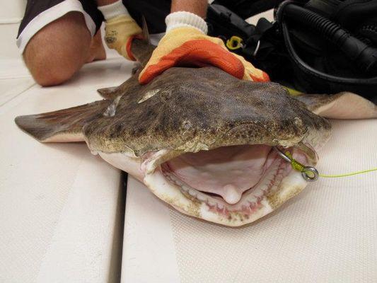 requin ange partie de peche gran canaria