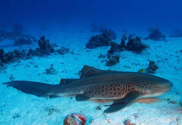 requin léopard mer rouge