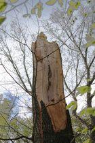Reste eines stolzen Baumes