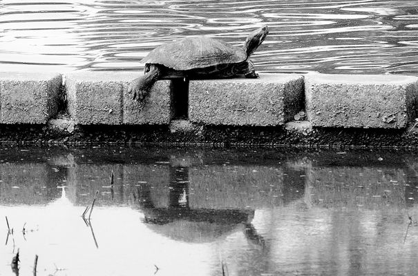 Resting Turtle atop Reflection