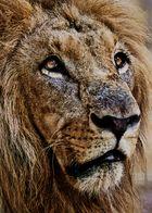 Retrato león viejo