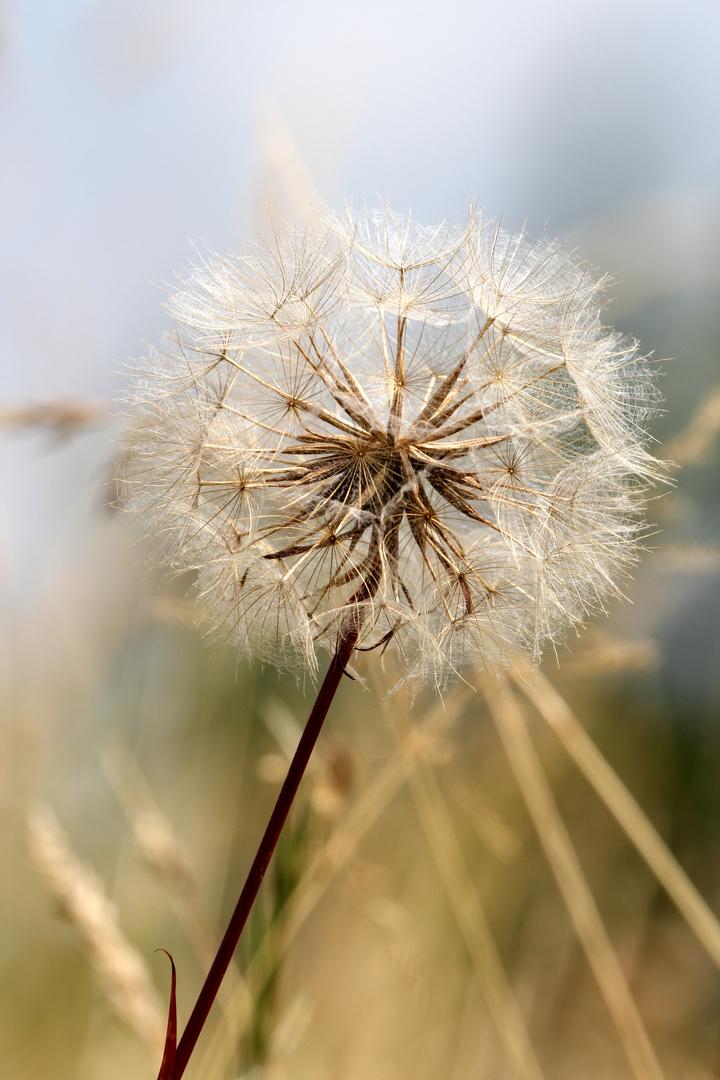retro dandelion
