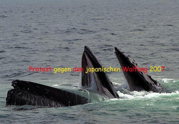 Rettet die Wale.............esst Japaner!