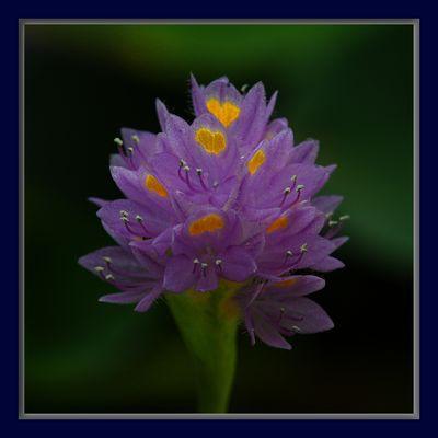 Reussia rotundifolia castellanos