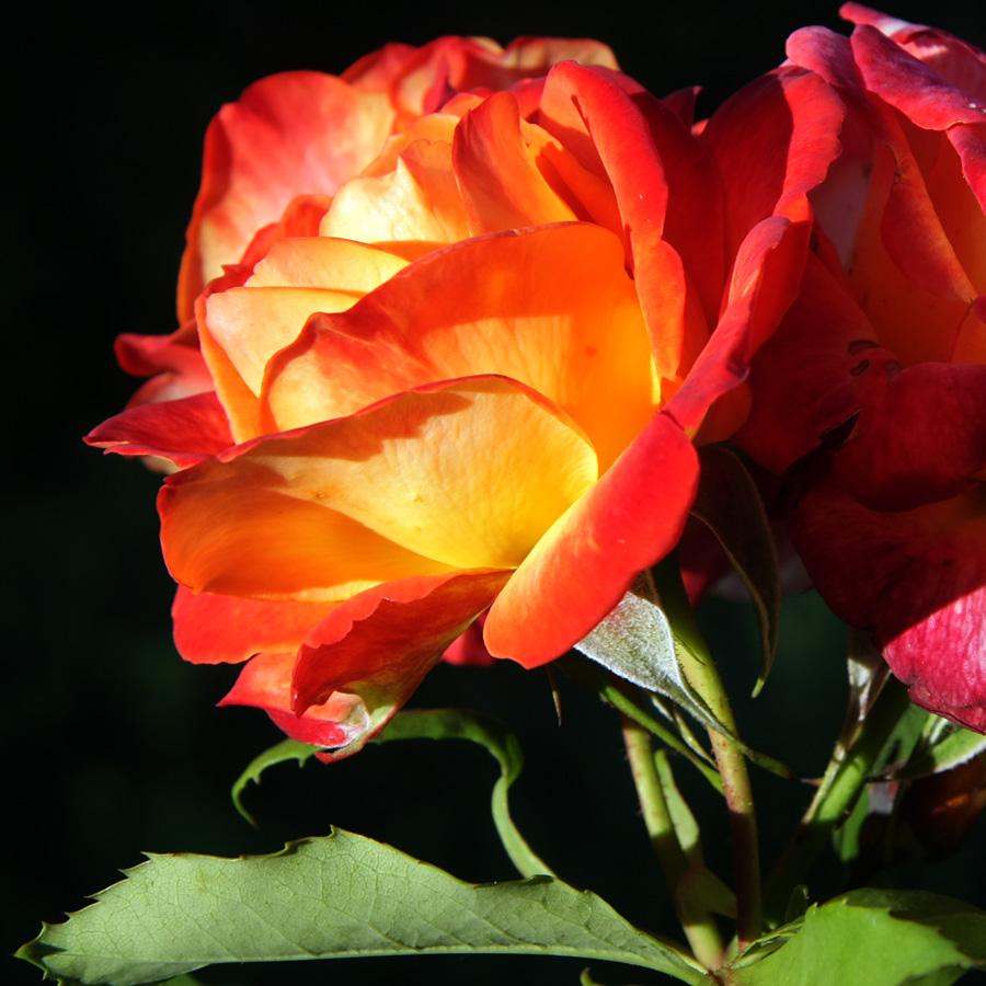 Réveil d'une rose