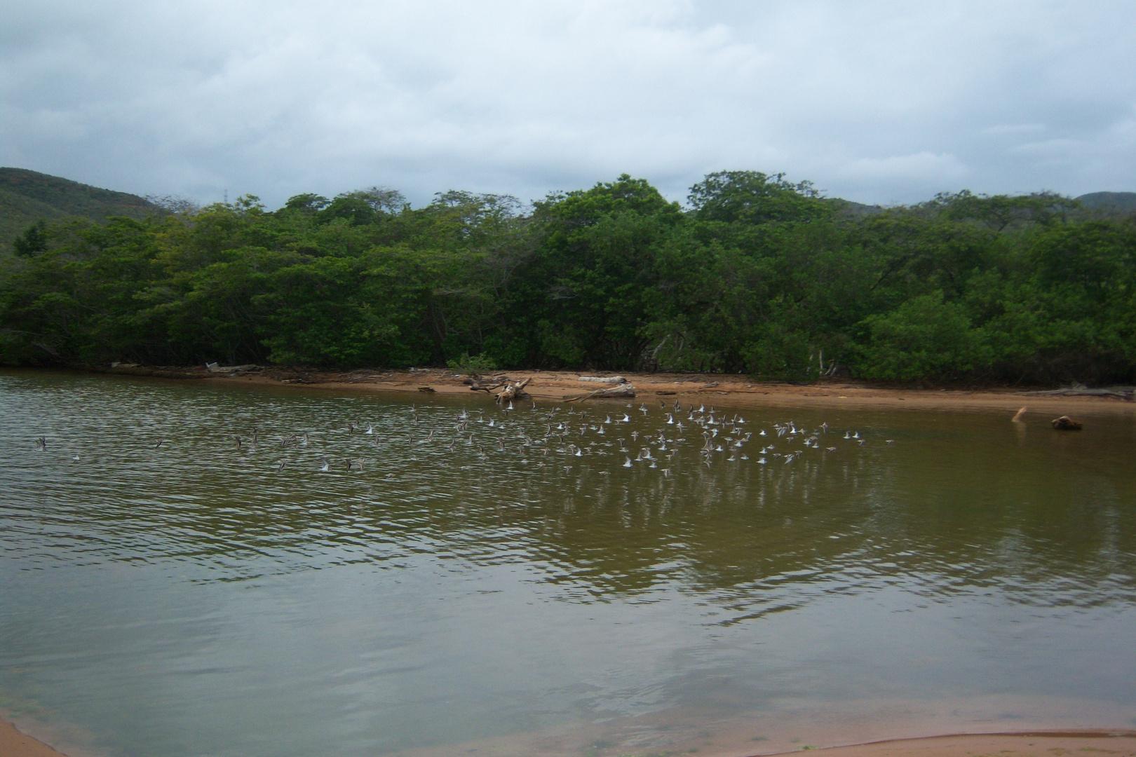 Revoloteando . Playa Guirintal . Cumaná-Edo.Sucre. Venezuela