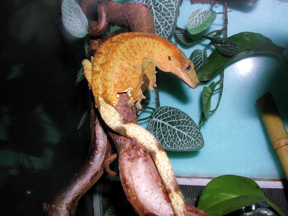 Rhacodactylus ciliatus yellow tiger