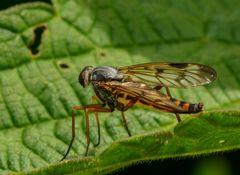 Rhagio scolopaceus (Gemeine Schnepfenfliege) Weibchen