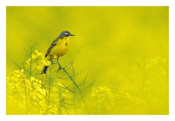 Rhapsody in  Yellow.........