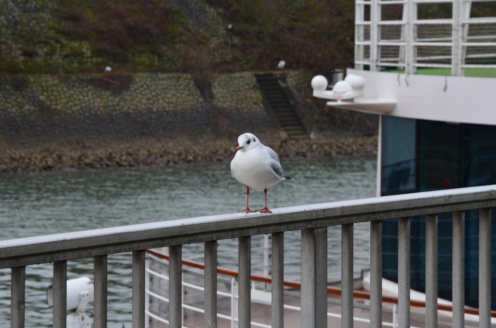 Rhein-vögel beim Posen