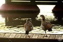 Rhein'flamingos