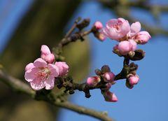 Rheingau - 6. Februar 2016 - an der Straße nach Hallgarten blühen die ersten Mandelbäume