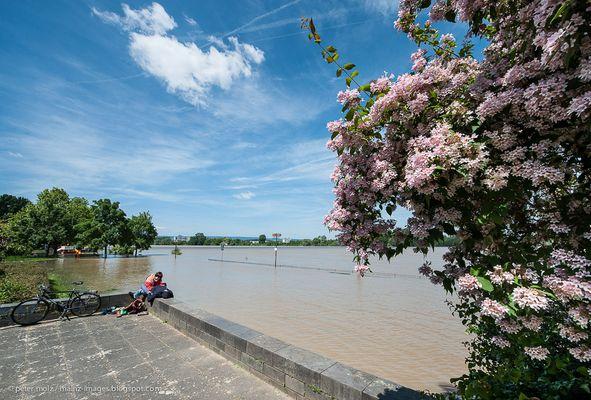 Rheinhochwasser in Mainz im Juni (II)