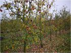 Rheinischer Bohnapfel im November