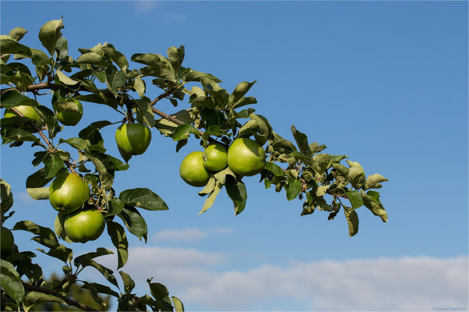 Rheinischer Bohnapfel im Sommer