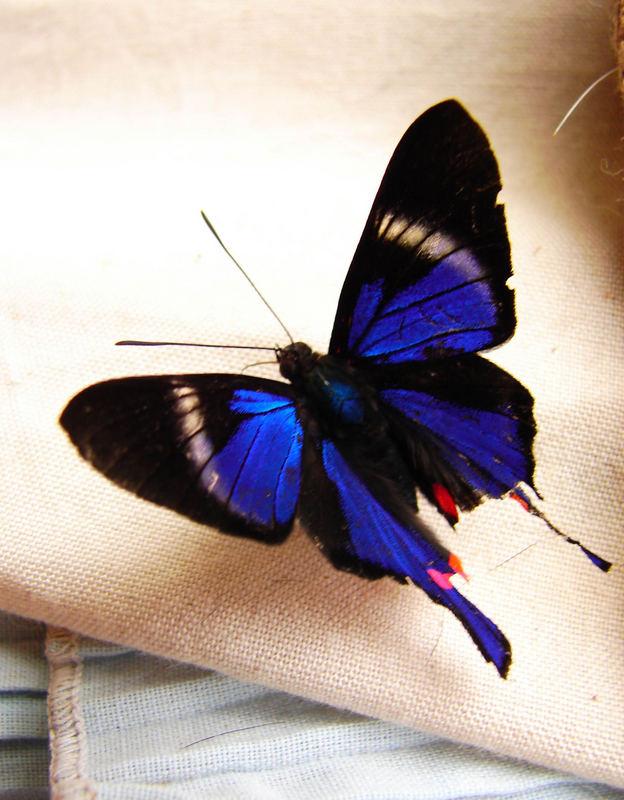 Rhetusperiander eleusinus