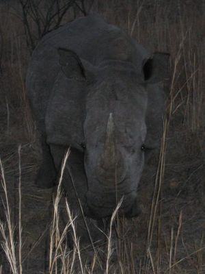Rhino bei Dämmerung
