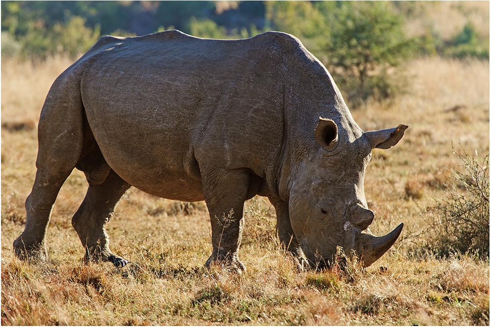 Rhino im Gegenlicht