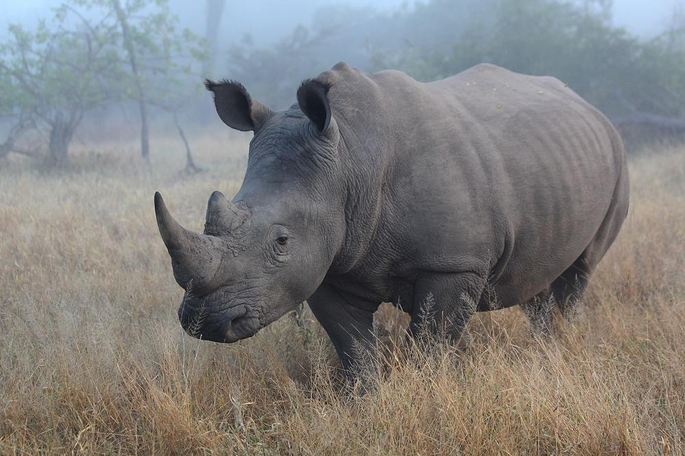 Rhino im Morgennebel