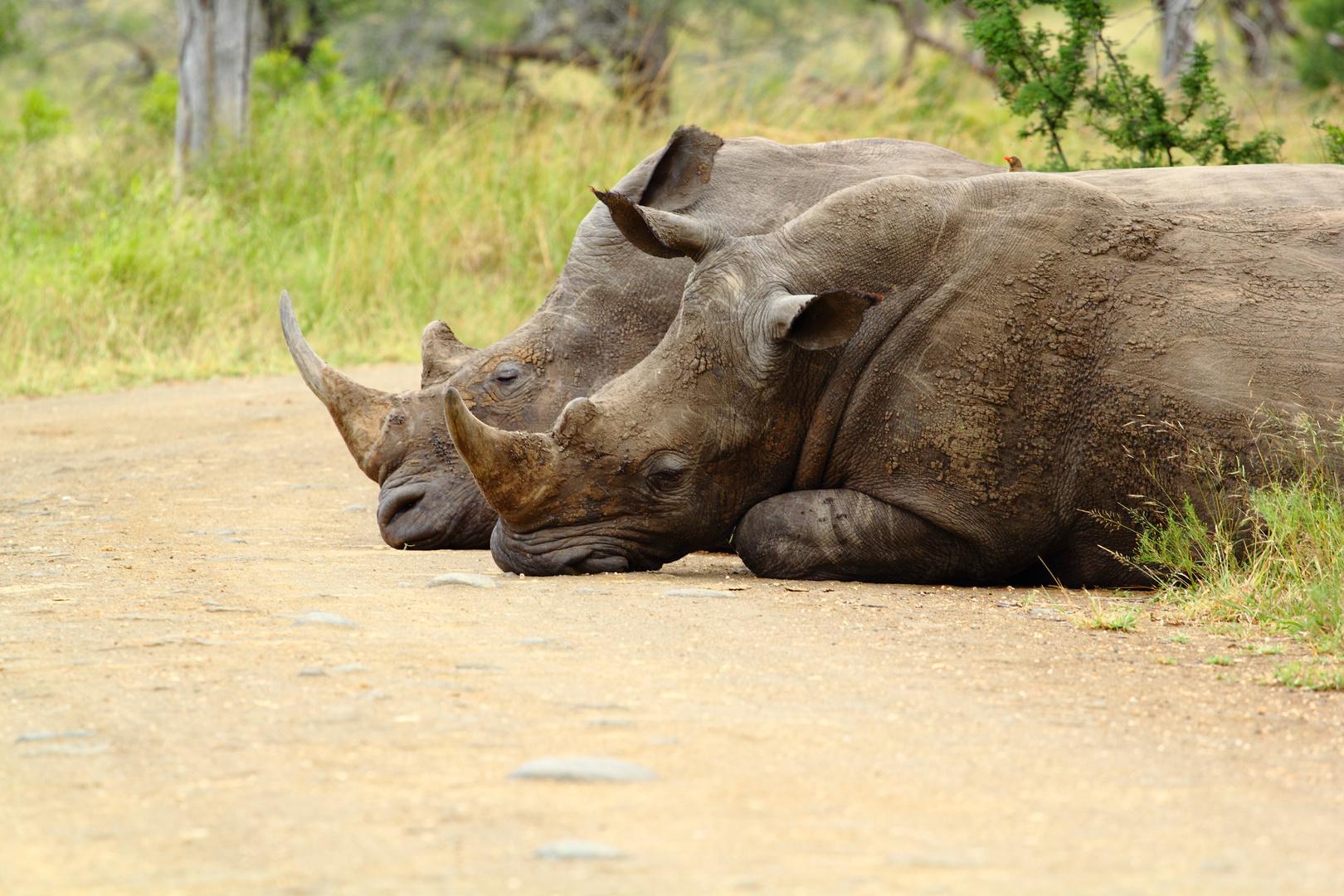 Rhino im Spiegel