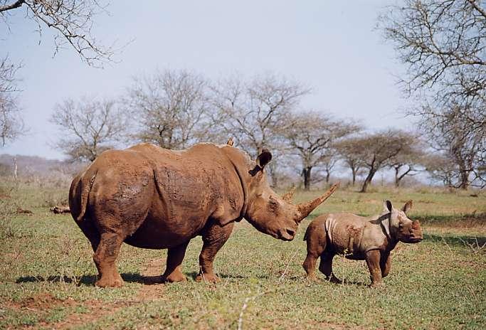 Rhinoceros blanc, Hluhluwe/Umfolozi, Afrique du Sud