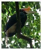- Rhinoceros Hornbill -
