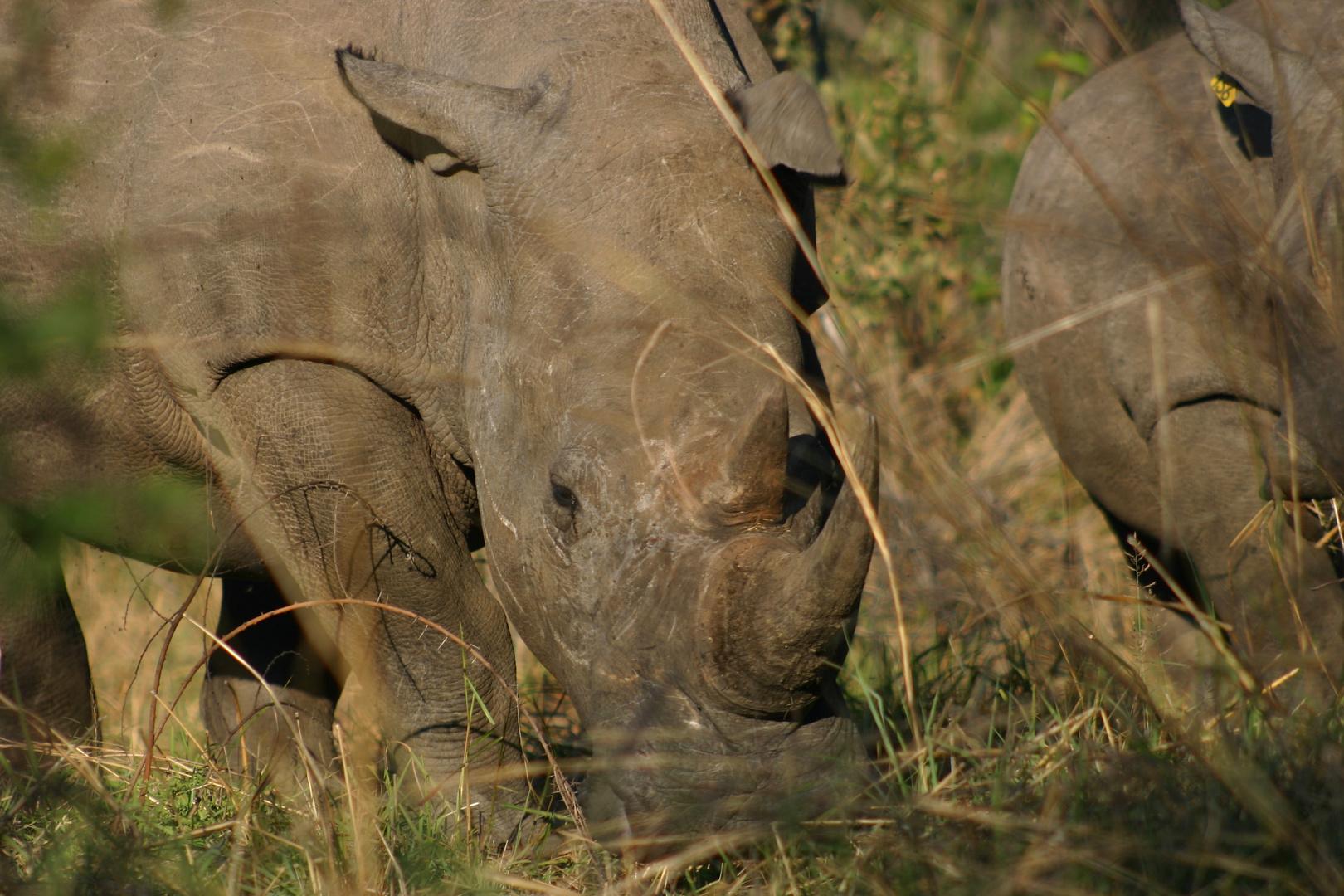 Rhinowalk - aus 5m Entfernung