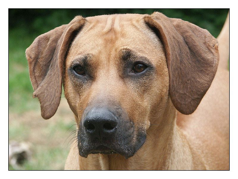 rhodesian ridgeback gro foto bild tiere haustiere hunde bilder auf fotocommunity. Black Bedroom Furniture Sets. Home Design Ideas