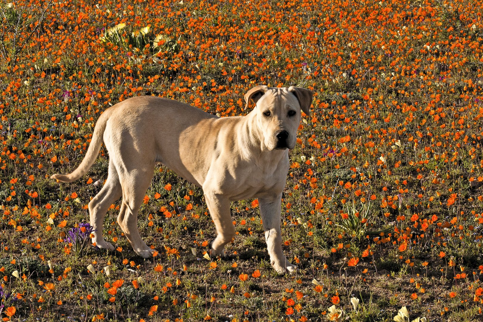 Rhodesian Ridgeback - mein Begleiter im Namaqualand