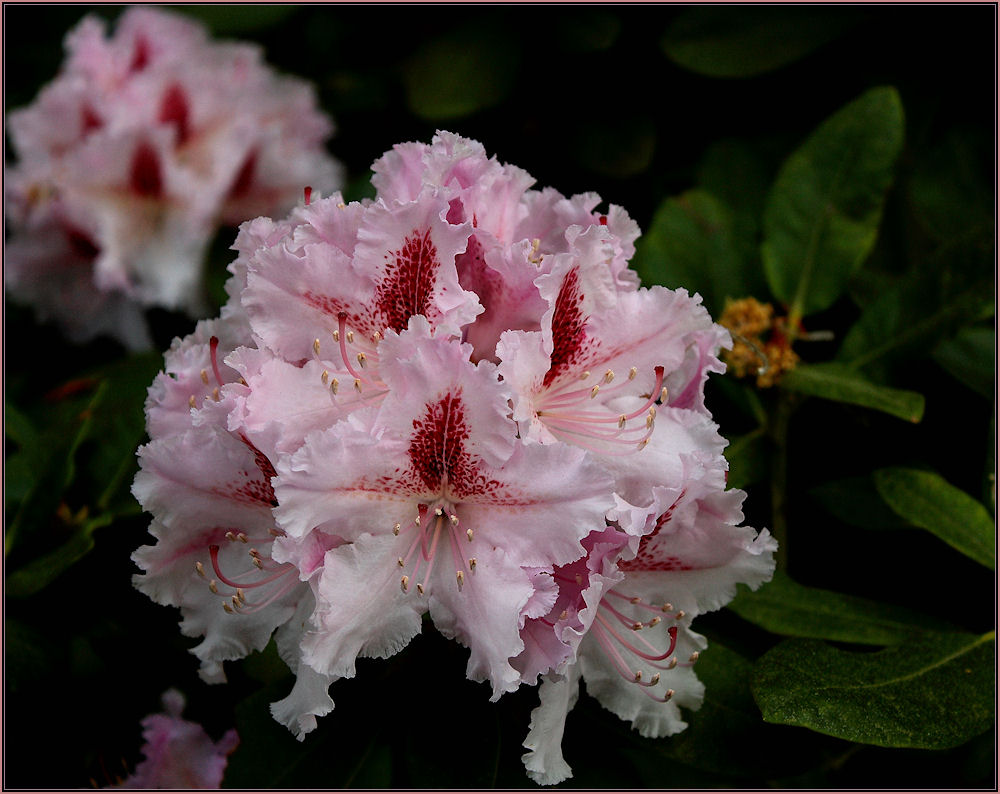 """........... """" Rhododendrenblüte .....""""!"""