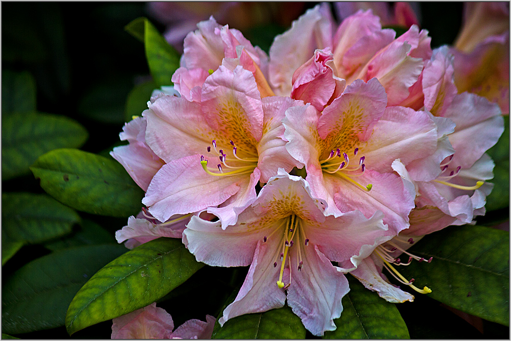 rhododendron 1 foto bild pflanzen pilze flechten str ucher rhododendron bilder auf. Black Bedroom Furniture Sets. Home Design Ideas
