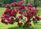 Rhododendron 2013