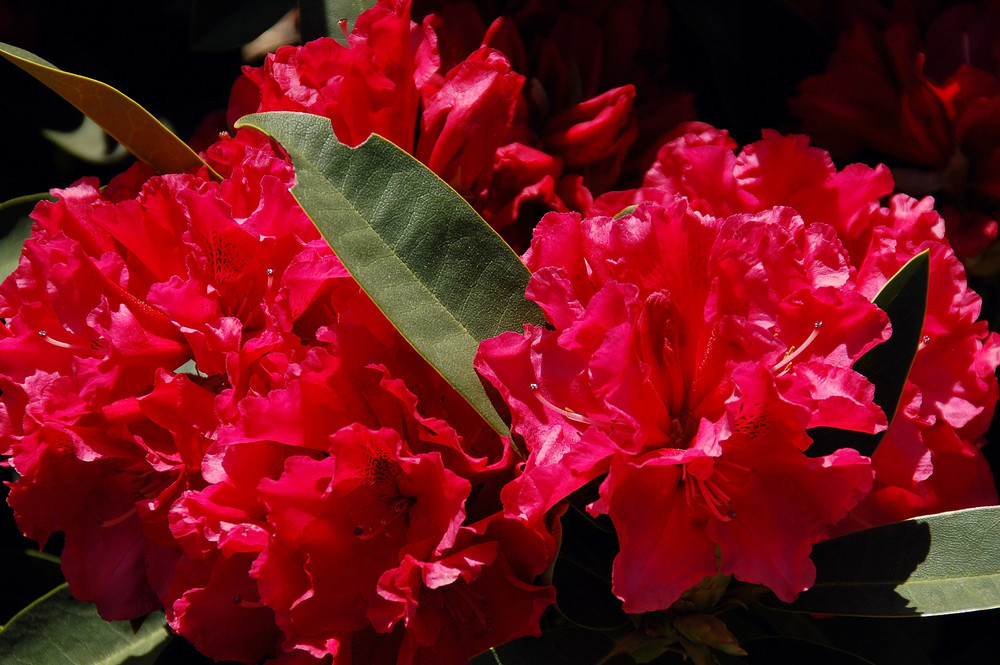 Rhododendron (3)