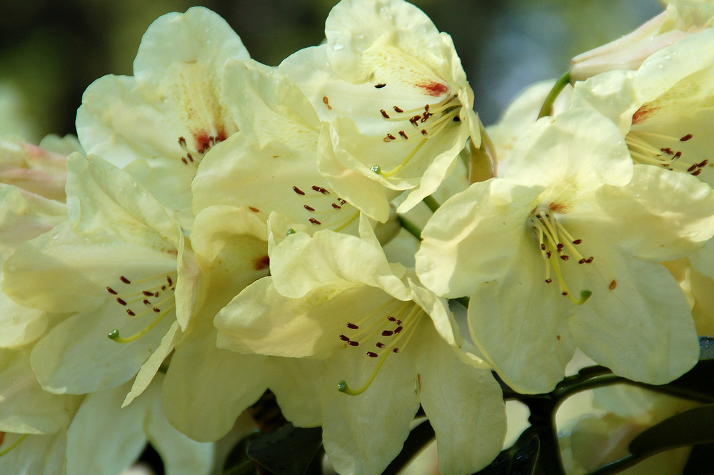 Rhododendron (4)