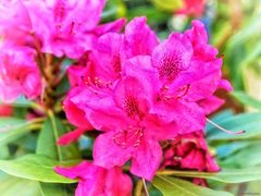 Rhododendron ²
