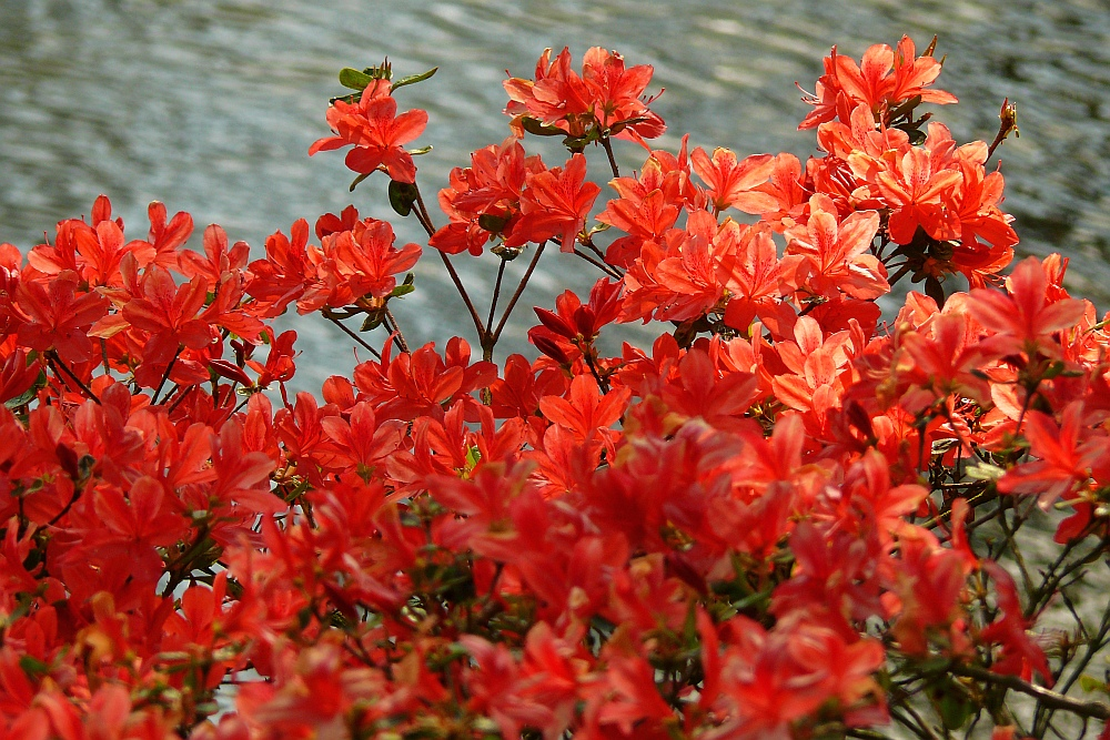 Rhododendron am See