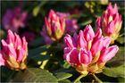 Rhododendron bald in voller Blüte