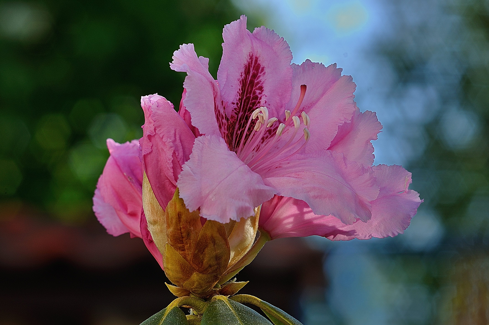 Rhododendron Blüte